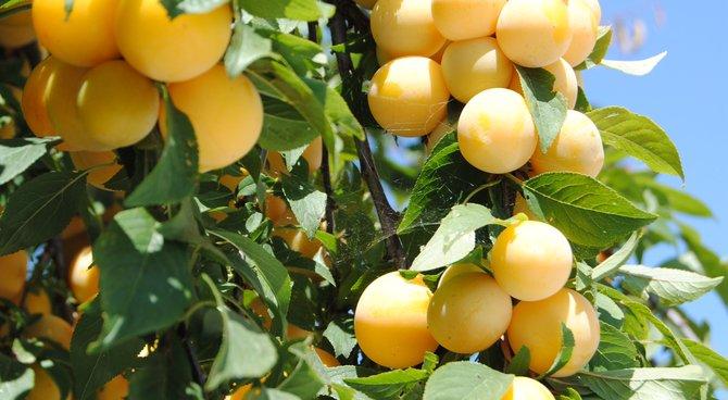 plantations d'automes : arbres fruitiers